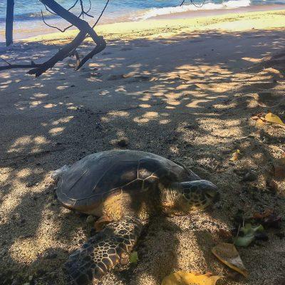 Schildkröte am A-Beach